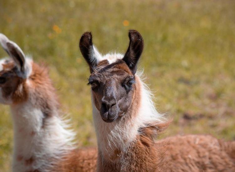 best llama names