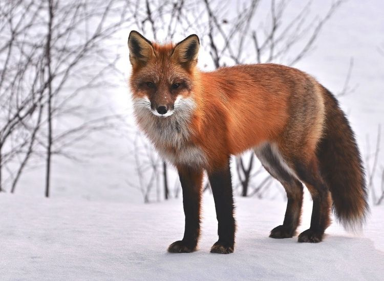 best fox names
