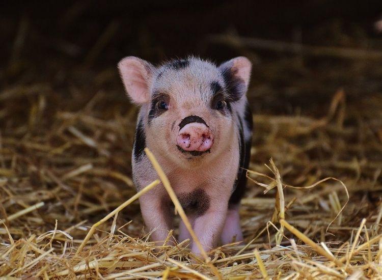 best pig names for a pet pig