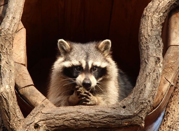 best raccoon names