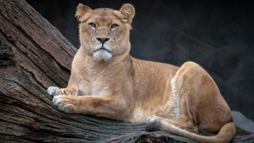 female lion names for a lioness