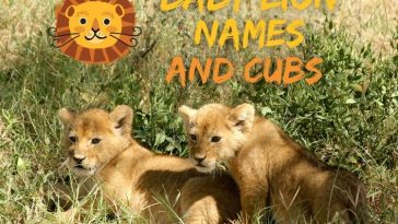 baby-lion-names