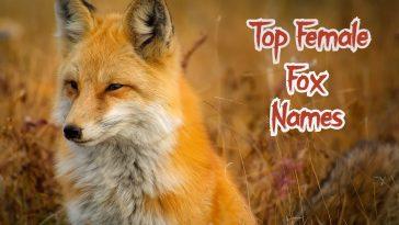 Top female fox name ideas for a female fox or vixen