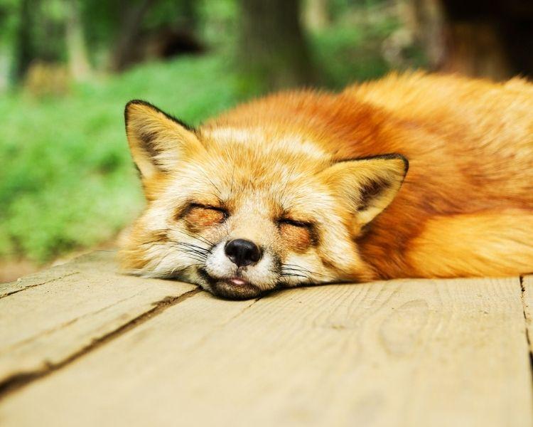 Fox Name Generator - Boy Cute