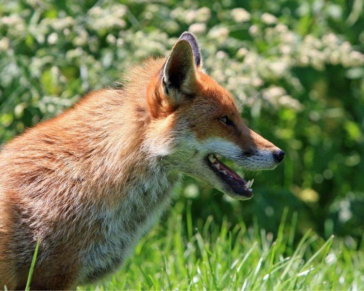 Fox Name Generator - Boy Traditional