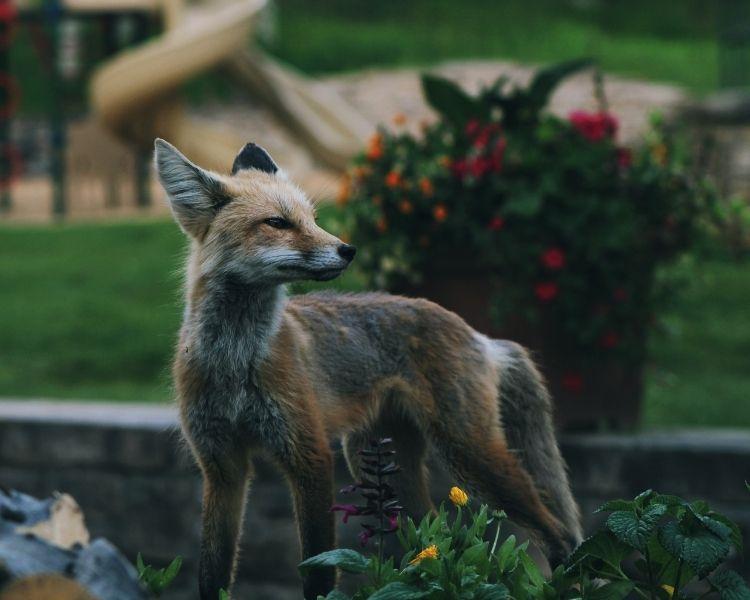 Fox Name Generator - Boy Unique