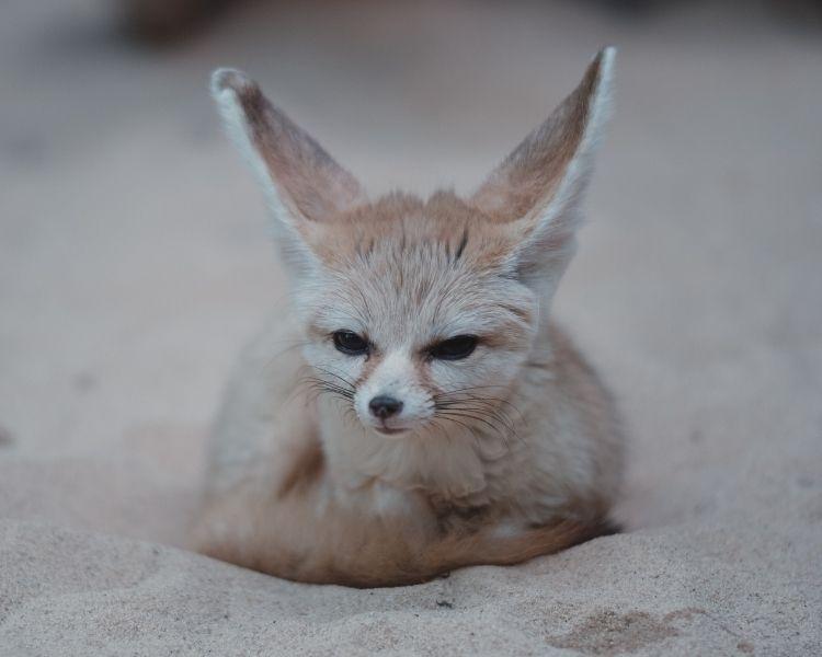 Fox Name Generator - Boy Fox