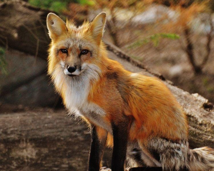 Fox Name Generator - Girl Tough