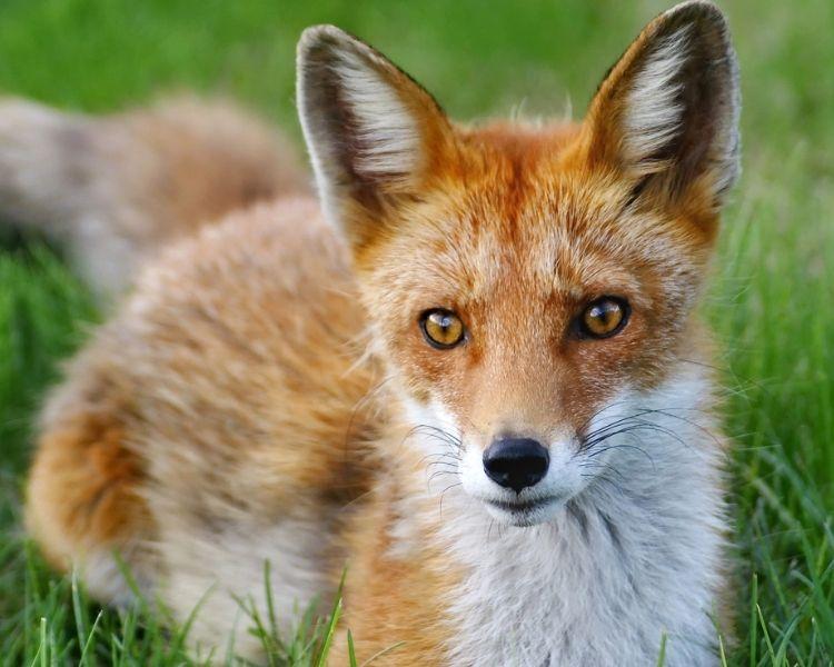 Fox Name Generator - Girl Traditional