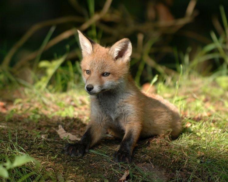 Fox Name Generator - Girl Cute