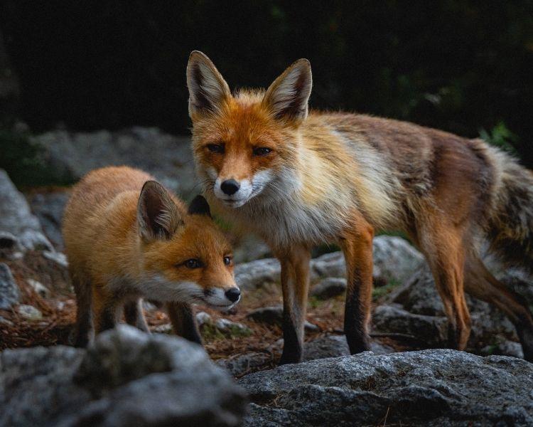 Fox Name Generator - Sex