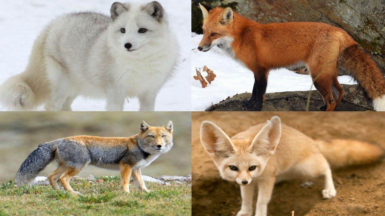 Fox Name Generator - Breed