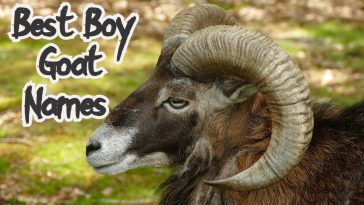boy goat names for a male goat