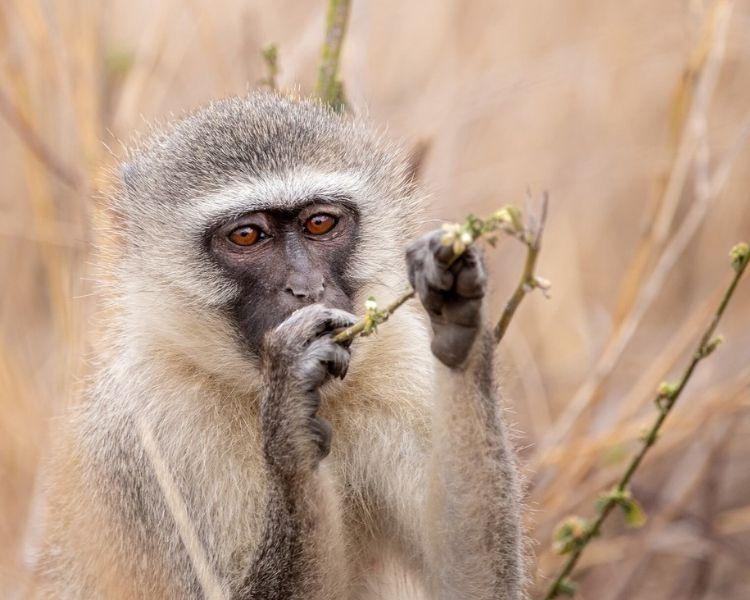 Monkey Name Generator | Petpress - Traditional Monkey