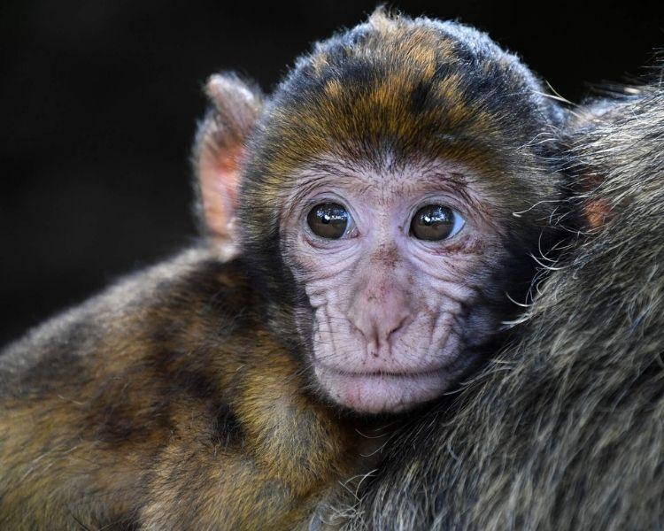 Monkey Name Generator | Petpress - traditional monkey name
