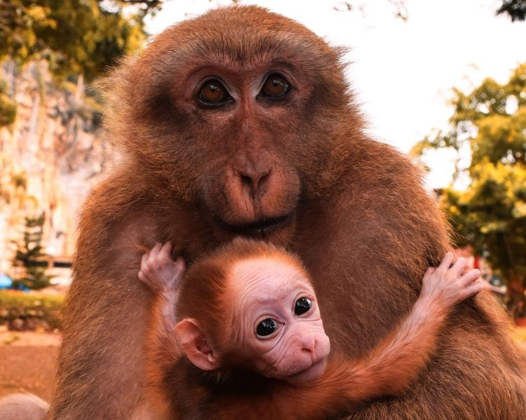 Monkey Name Generator | Petpress - Girl traditional monkey