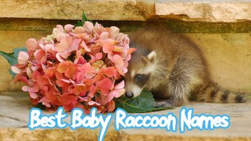 baby-raccoon-names