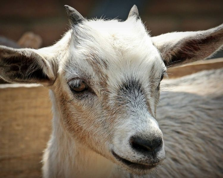 Goat Name Generator - Cool goat