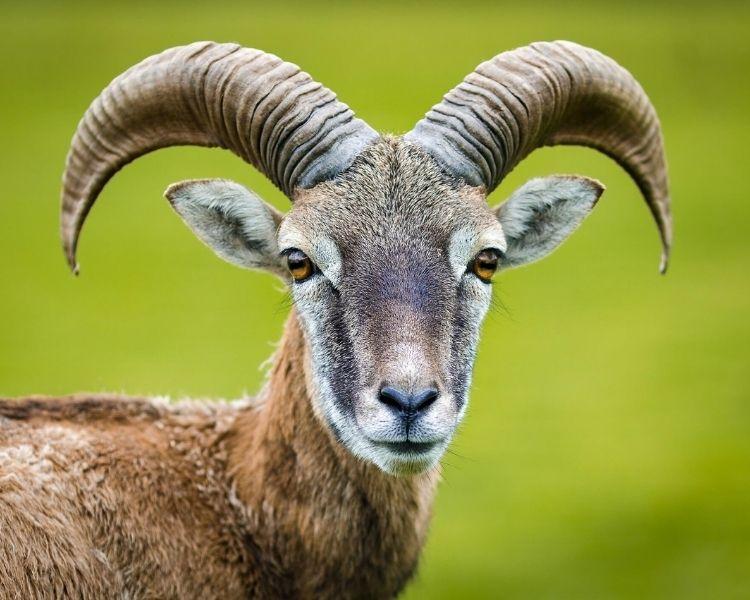 Goat Name Generator - Famous Goat