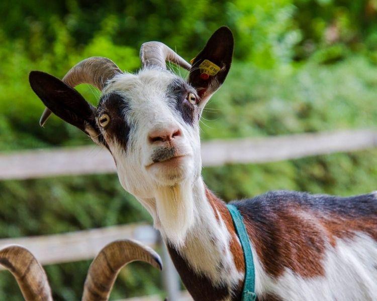 Goat Name Generator - Cute goat