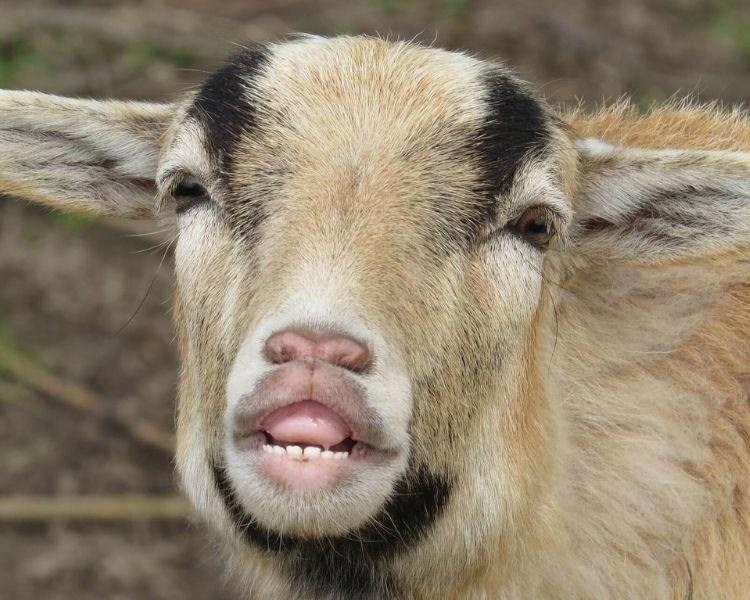 Goat Name Generator - funny goat