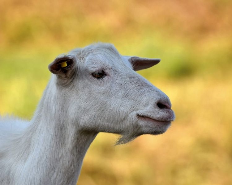 Goat Name Generator - traditional goat