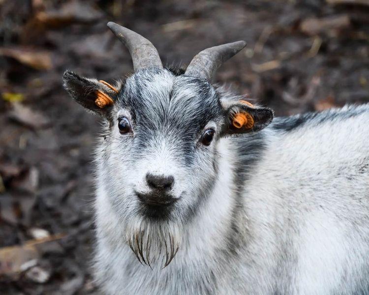 Goat Name Generator - cute girl goat