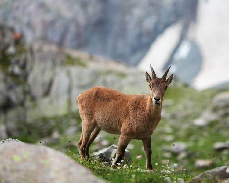 Goat Name Generator - cool girl goat