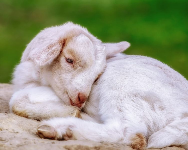 Goat Name Generator - funny girl goat