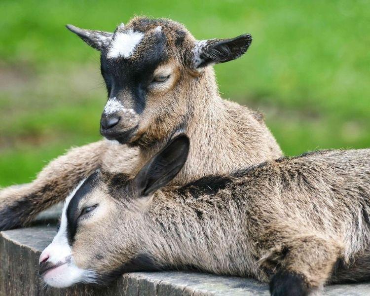 Goat Name Generator - traditional girl goat