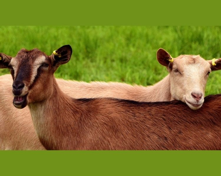 Goat Name Generator - Gender of goat