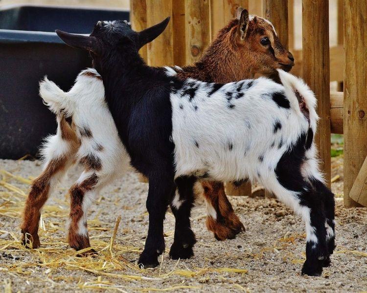 Goat Name Generator - Hair Color of goat