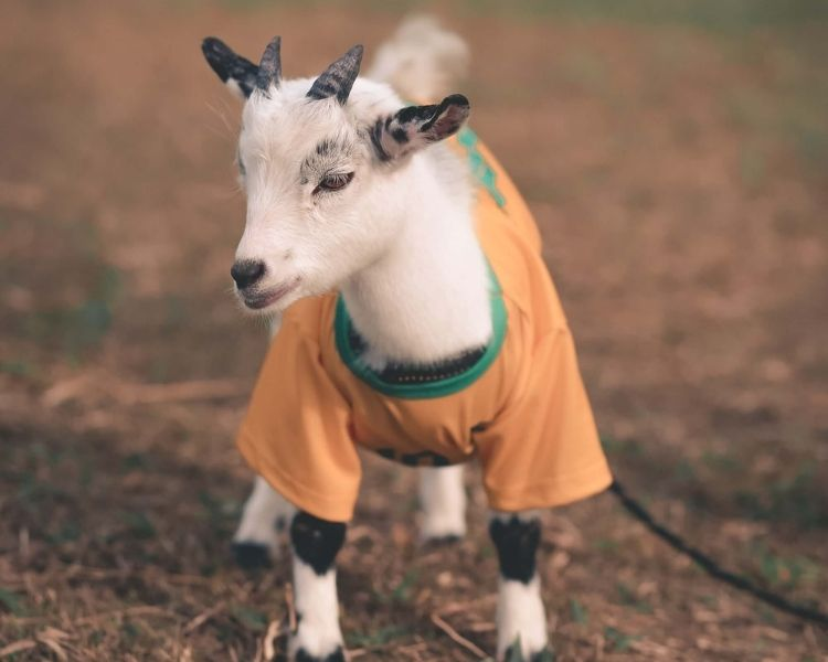Goat Name Generator - Instagram page for a goat
