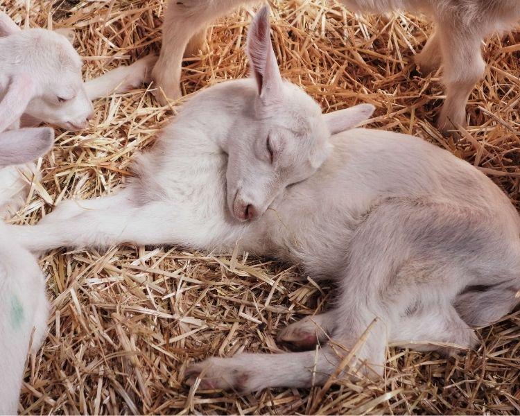 Goat Name Generator - Name Preference for goat