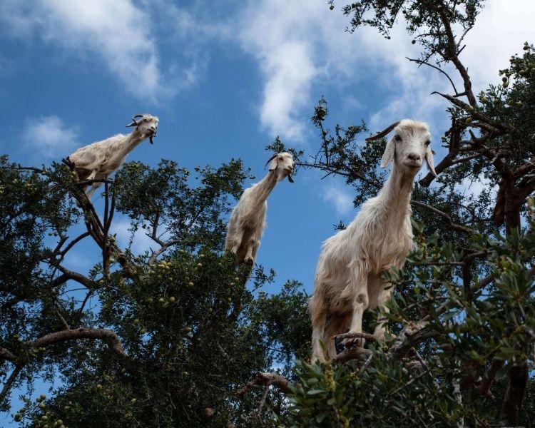 Goat Name Generator - Size of goat
