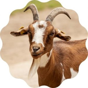 goat name generator - find out the best name for a goat