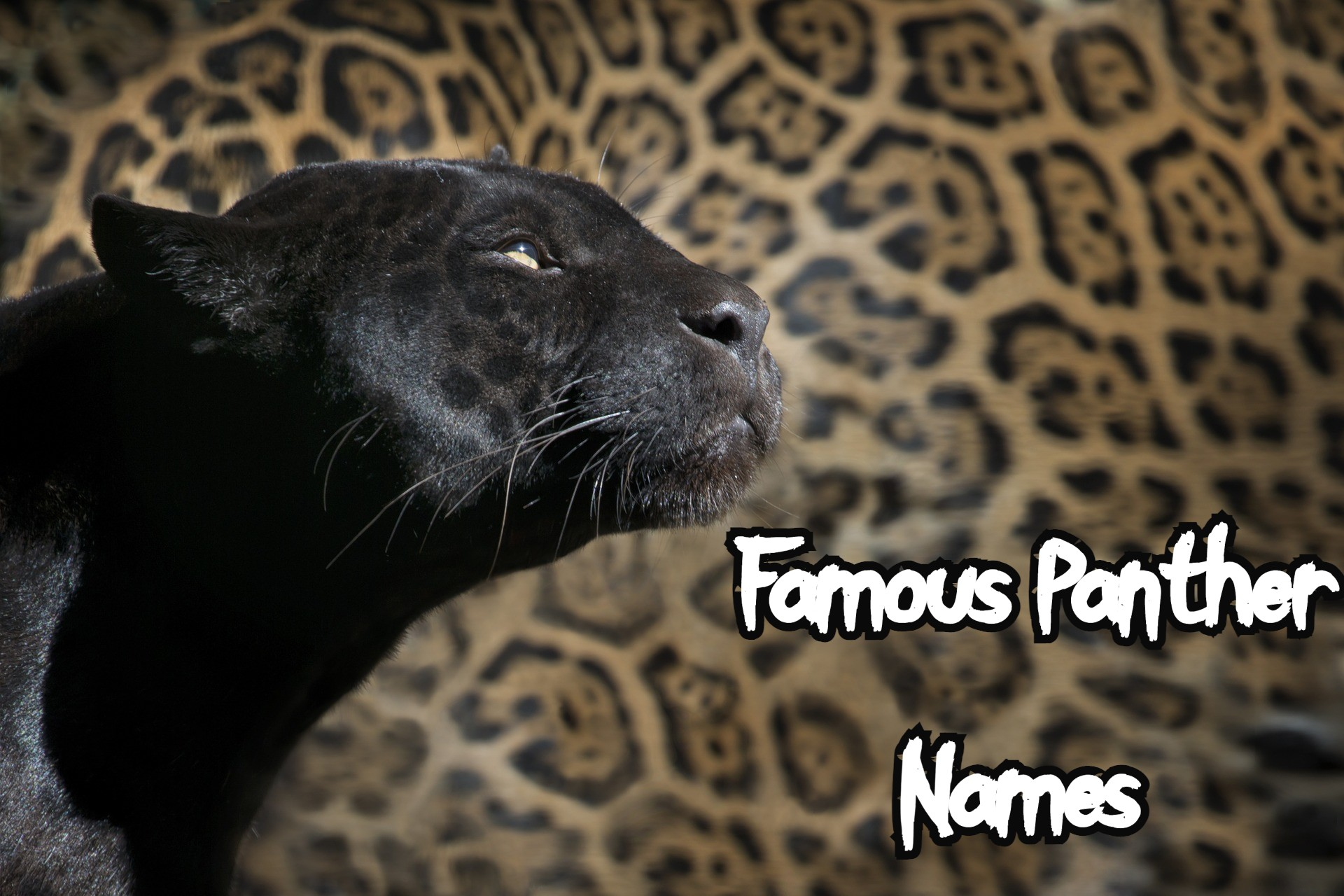 famous-panther-names