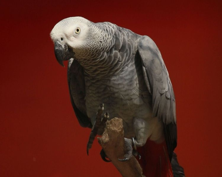 parrot name generator - large unique parrot