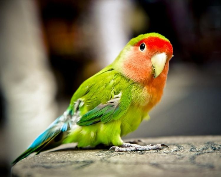 parrot name generator - female tiny traditional parrot
