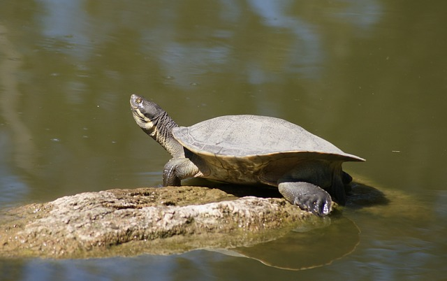 male-tortoise