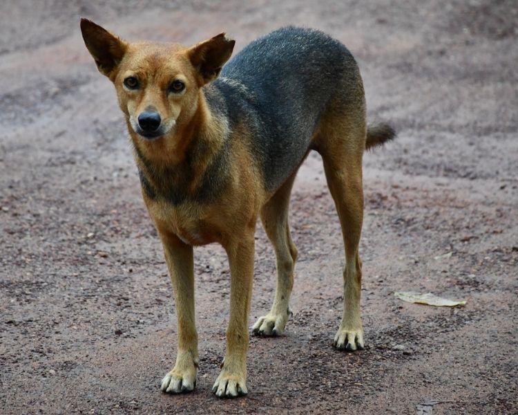 300 Best Indian Dog Names (Punjabi, Sanskrit & Hindi Names)