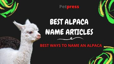 alpaca-name-articles