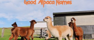 good-alpaca-names
