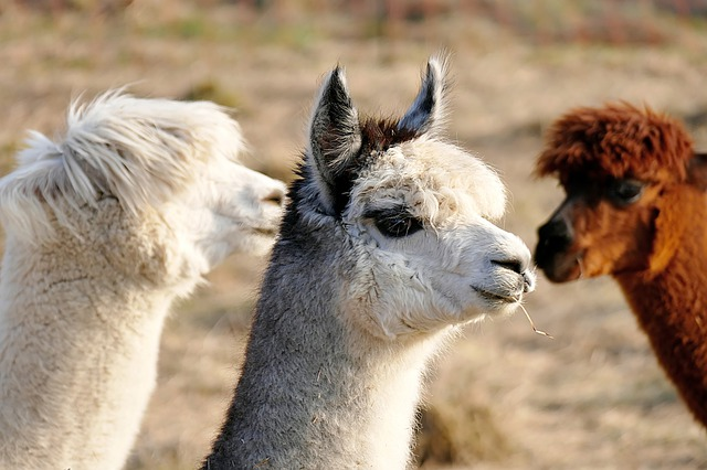cool-alpaca-names