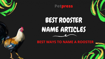 rooster-name-articles