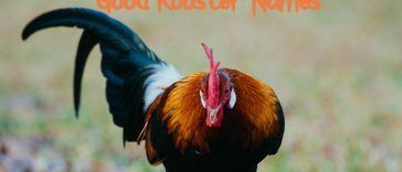 good-rooster-names