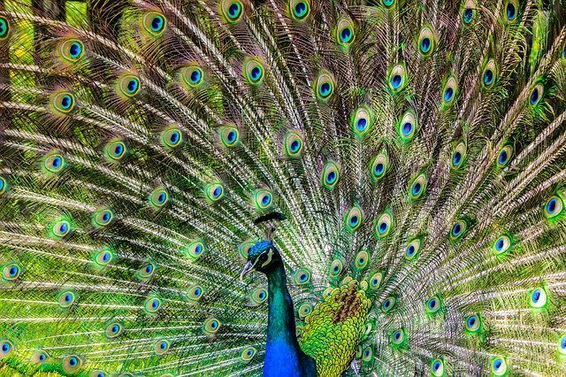 male-peacock-names