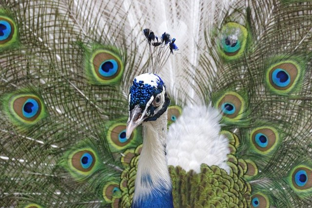 funny-peacock-names