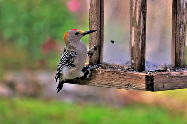 female-woodpecker-names