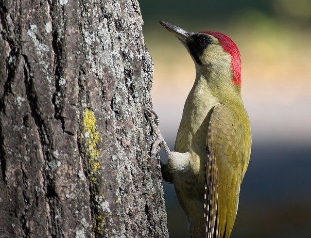 green-woodpecker-names